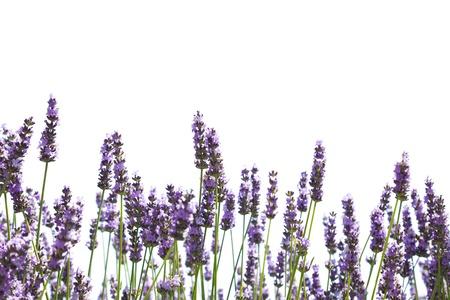 lavanda: P�rpura flores de lavanda, aislados en un fondo blanco