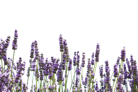 lavender: Purple lavender flowers, isolated on a white background Stock Photo