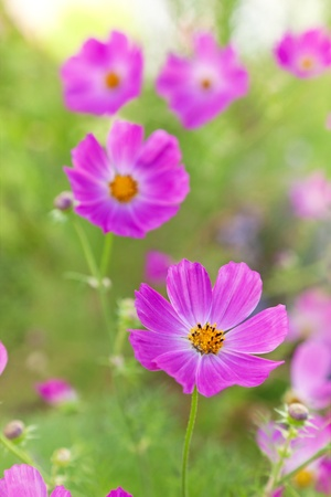 cosmos flowers: Beautiful flowers cosmos. Can be used as a background.