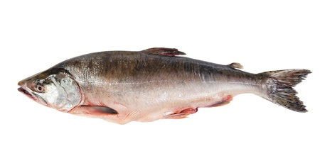 fishing industry: Fresh-frozen fish pink salmon. Isolated on white background