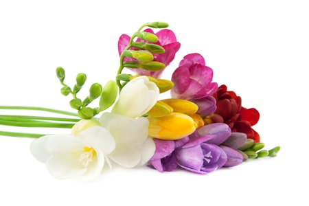 Blooming Freesia. Isolated on white background.  photo