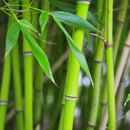 A bamboo grove  Can be used as background  photo