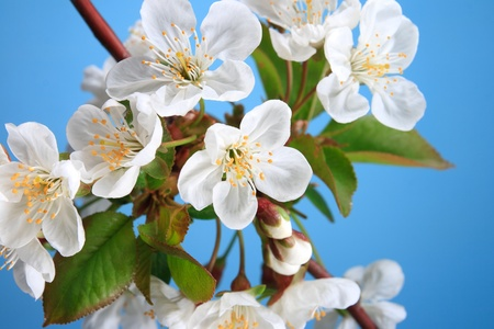 The branch of cherry blossoms on a blue background  photo