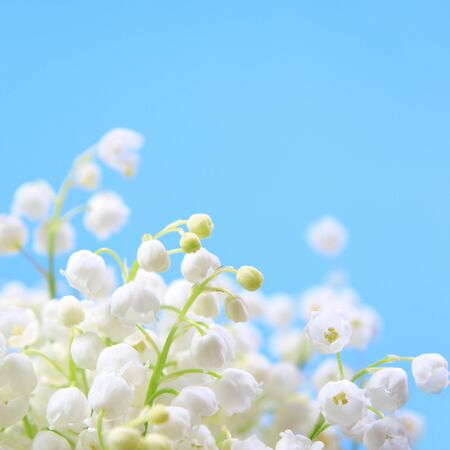 lirio blanco: Flor de lirio de los valles sobre un fondo azul
