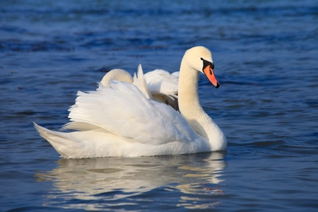 Beautiful white swans floating on the water  photo