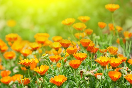 Marigold flowers in the meadow in the sunlight photo