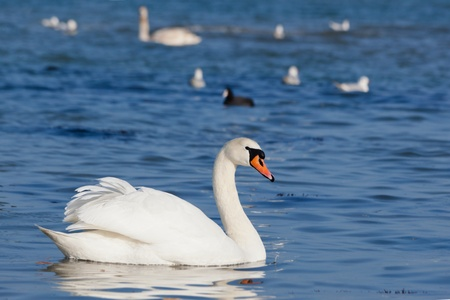 Beautiful white swans floating on the water  Stock Photo - 13008308