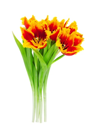 tulipa: Beautiful tulips. Isolated on white background