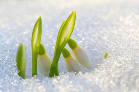 Les premiers perce-neige monté sous la neige