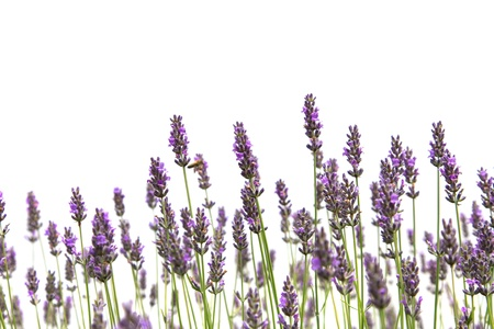 lavanda: Purple flores de lavanda, aisladas sobre un fondo blanco