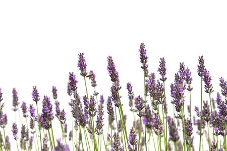 fiori di lavanda: Viola fiori di lavanda, isolato su uno sfondo bianco Archivio Fotografico