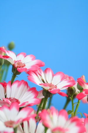 Beautiful flowers marguerites on a blue background photo