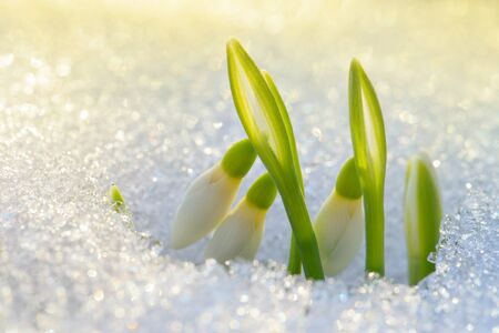 Beautiful first snowdrops appeared from under the snow 版權商用圖片