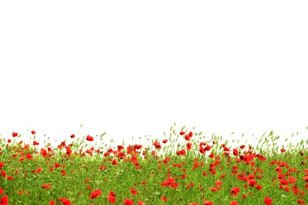 Red poppies in green grass isolated on white background