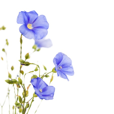 Beautiful flowers of flax isolated on white background Stock Photo