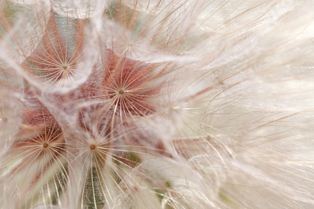 macro close up: Background of the seeds of a dandelion closeup