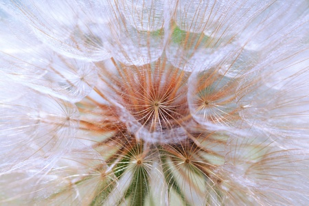 pappus: Background of the seeds of a dandelion closeup