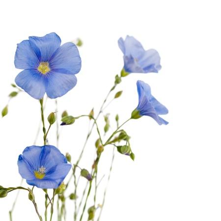 Hermosas flores de lino aislada en el fondo blanco