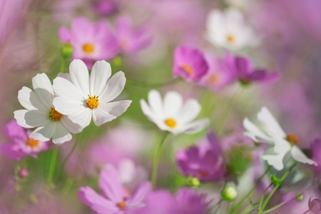 Beautiful flowers cosmos on softly blurred background photo