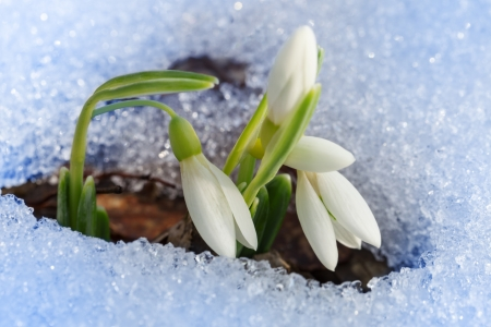 Beautiful first snowdrops appeared from under the snow Stock Photo