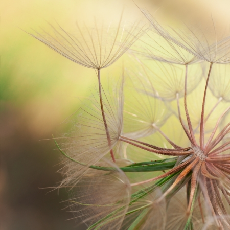 macro: Background of the seeds of a dandelion closeup