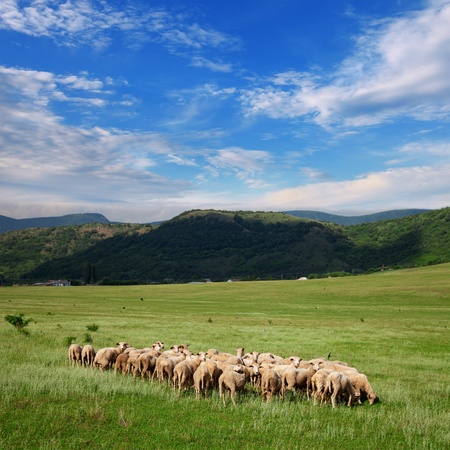Herd of sheep grazing on pasture on a background of mountains and blue sky with clouds photo
