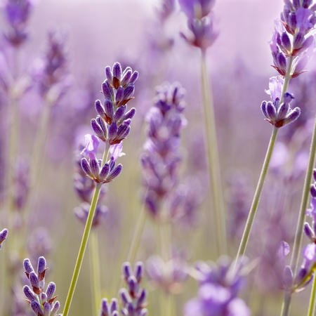 Branches of flowering lavender. Can be used as background 版權商用圖片 - 17553171