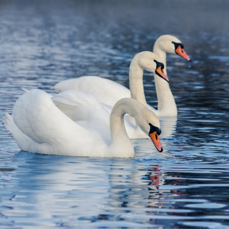 Floating in the water a beautiful swans photo