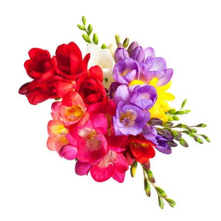 Blooming Freesia  Isolated on white background