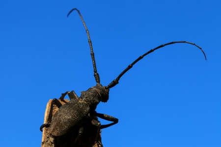 cerdo: Beetle  Cerambyx cerdo  on a background of blue sky Stock Photo