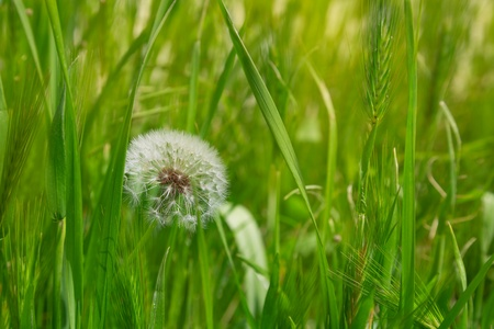 pappus: Fluffy dandelion in the green grass