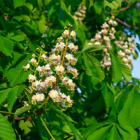 aesculus hippocastanum: Flowering branches of chestnut (Aesculus hippocastanum) on the background of green leaves