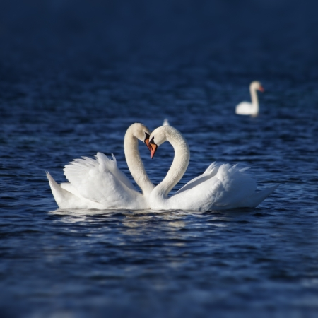 Swan Love. Two swans on a background of water