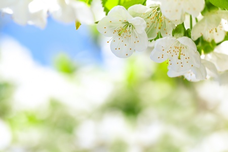 Cherry blossoms with green leaves on a soft blurred background  photo