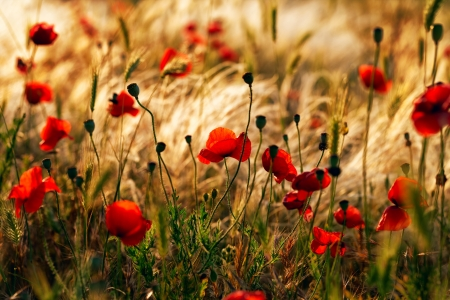 Red poppies on a background of dry grass photo