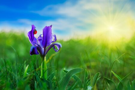 Ladybird on a blue flower on a background of green grass, sky and sun Stock Photo - 21325491