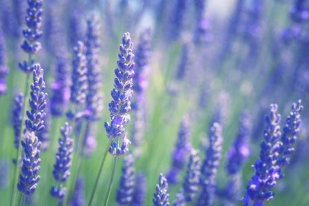 Branches of flowering lavender. Can be used as background  版權商用圖片