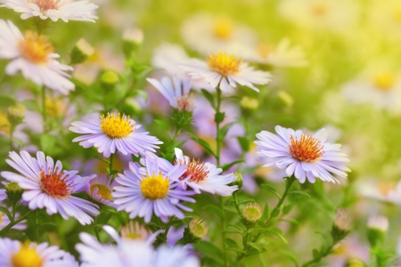 Flowers Michaelmas Daisy illuminated by sunlight  photo