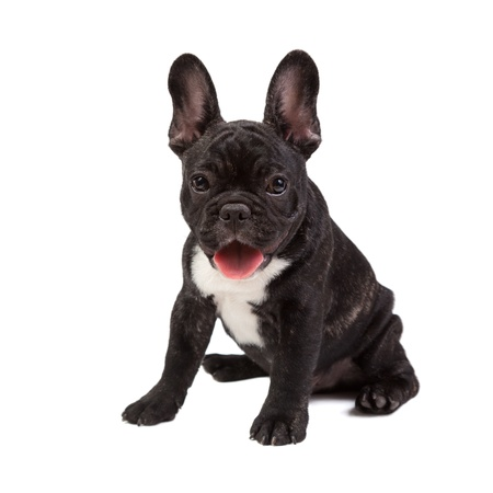 French Bulldog isolated on a white background photo