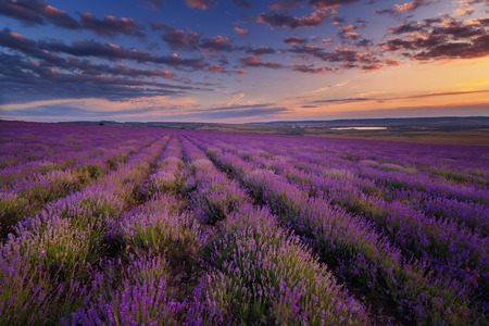 lavender field: Lavender field under blue sky with clouds on sunset