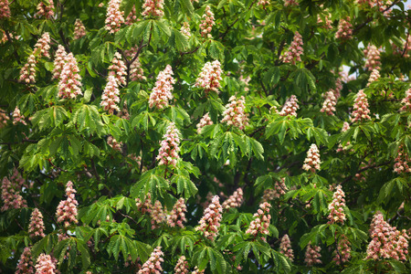 Flowering branches of chestnut (Aesculus hippocastanum) on the background of green leaves photo