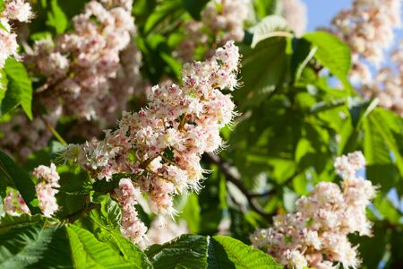 Flowering branches of chestnut (Aesculus hippocastanum) on the background of green leaves