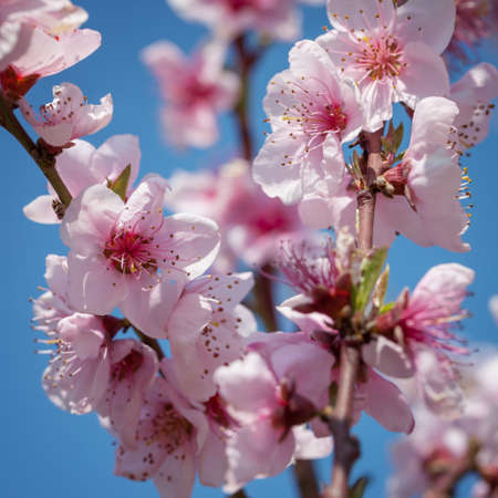 almond bud: Branches of a blossoming peach on a background blue sky Stock Photo