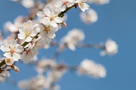 almond bud: Branches a flowering almond against the sky Stock Photo