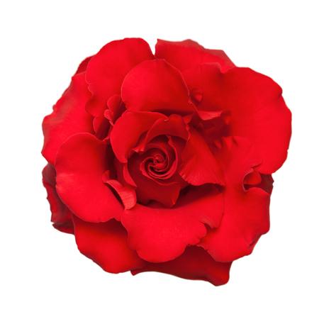 Red Rose. Auf weißen Hintergrund isoliert.