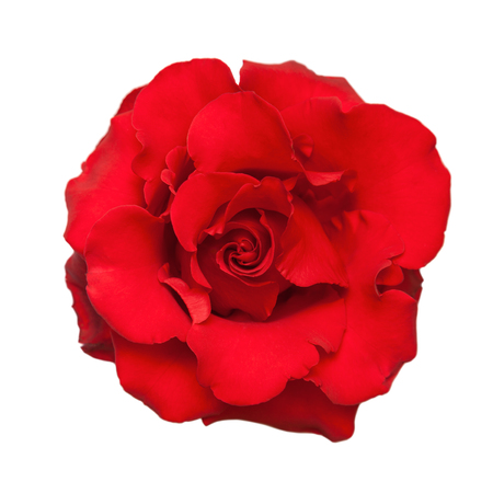 Rosa Roja. Aislado sobre fondo blanco. Foto de archivo - 55590706
