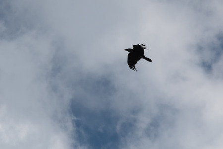 Silhouette of a black raven against the sky with clouds