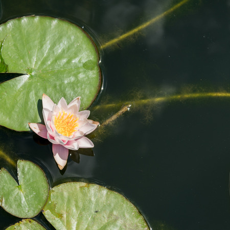 Water lily in the pond view from the top 版權商用圖片