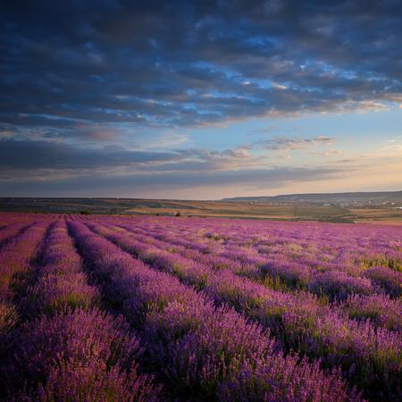 Lavender field under blue sky with clouds 版權商用圖片