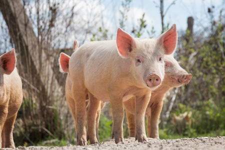 Young pigs graze on the farm